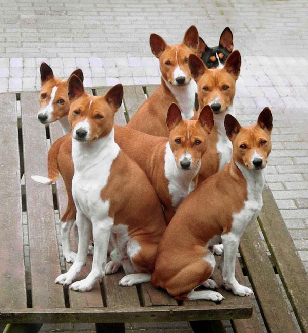 африканский молчун порода собак фото